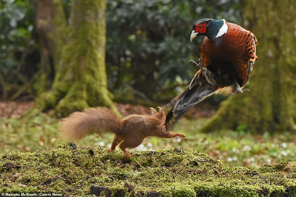 34566-8146351-The_squirrel_dives_at_the_pheasant_causing_the_bird_to_leap_off_-a-8_1585045819520.jpg