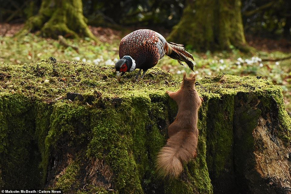 34570-8146351-But_as_the_pheasant_buries_its_beak_in_the_ground_one_more_times-a-7_1585045819519.jpg