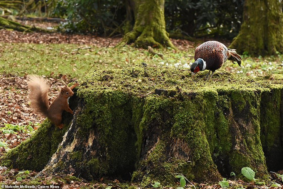 34576-8146351-A_red_squirrel_waits_for_the_right_moment_as_the_pheasant_oblivi-a-5_1585045819373.jpg