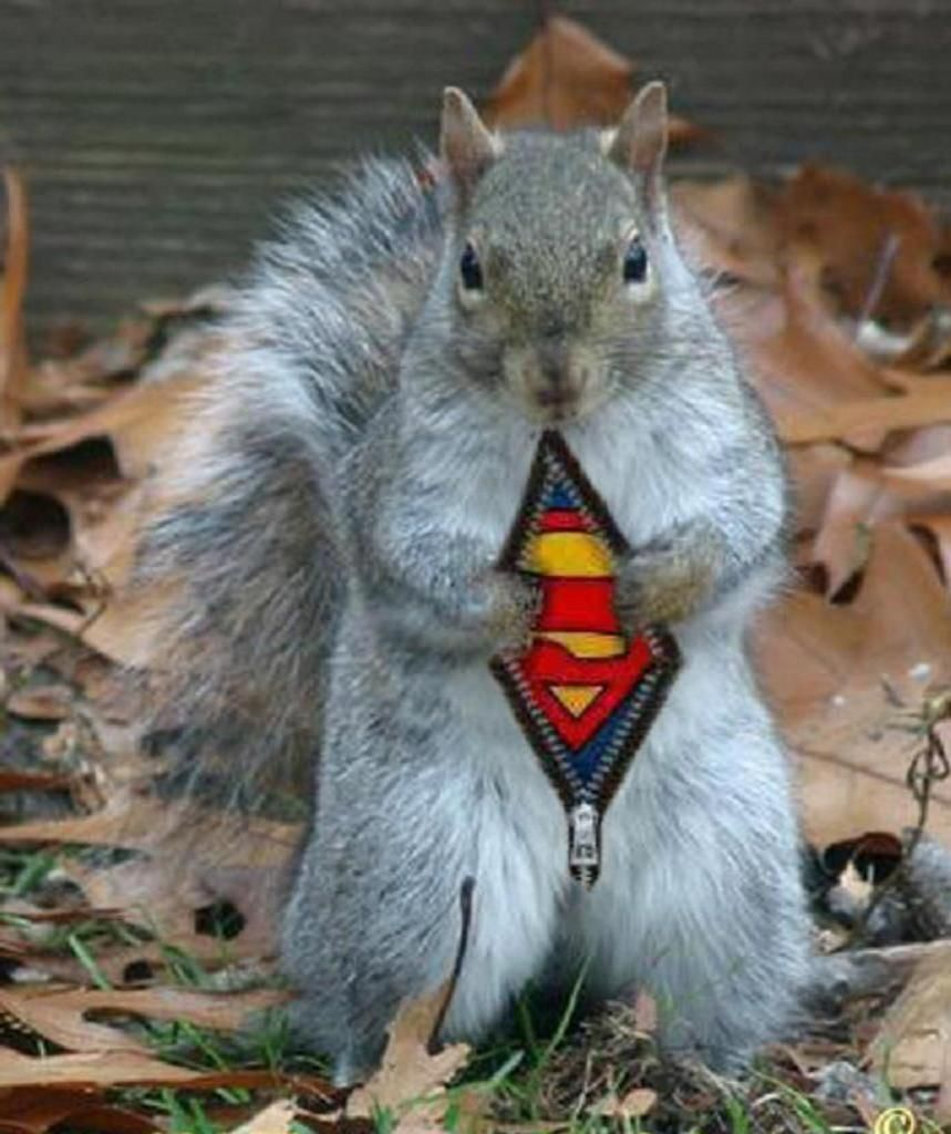 squirrel-superman.jpg